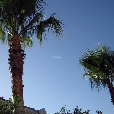 Poda de palmeras y tratamientos contra picudo