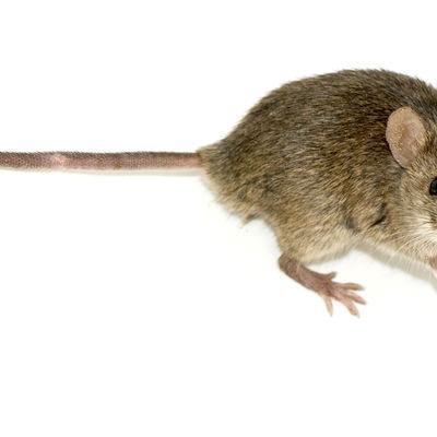 Control de ratones