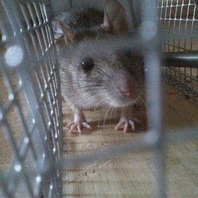 Captura de rata