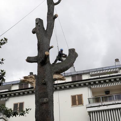 Tala de gran ejemplar de cedro