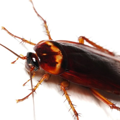 Cucaracha Americana.