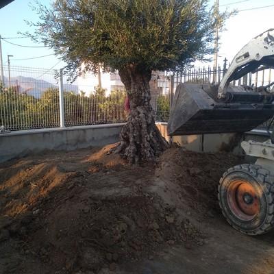 Plantación Olivera centenaria