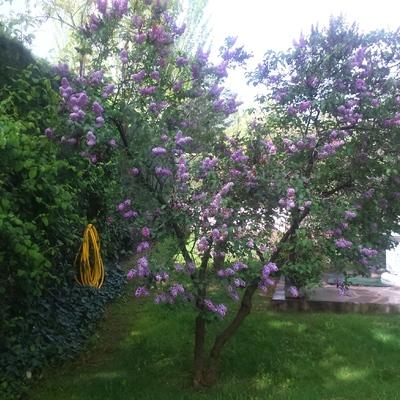Tilo en flor Urbanización Campodón (Villaviciosa de Odón)