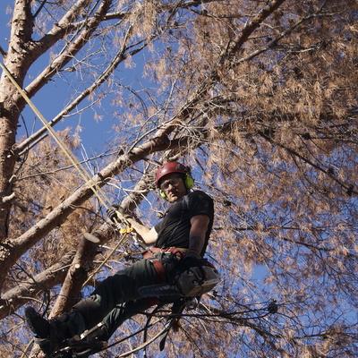 Tala controlada de un pino seco