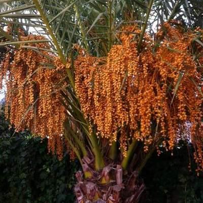 Poda de Phoenix Canariensis
