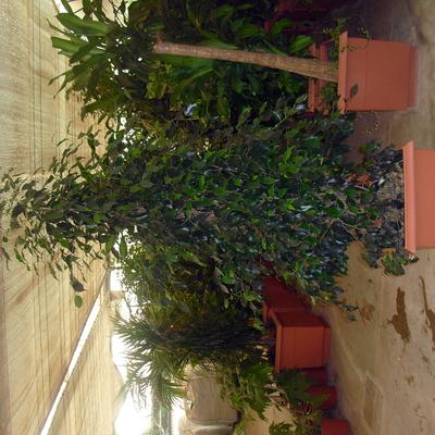 Martinez onsurbe jardineros miguelturra - Ficus benjamina precio ...