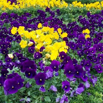 Floración variada de petunias