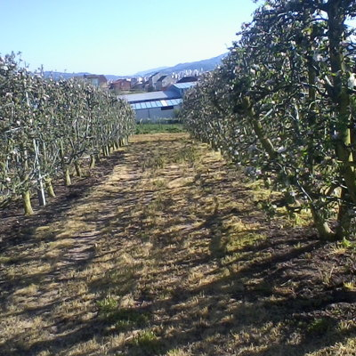 plantación de manzanas