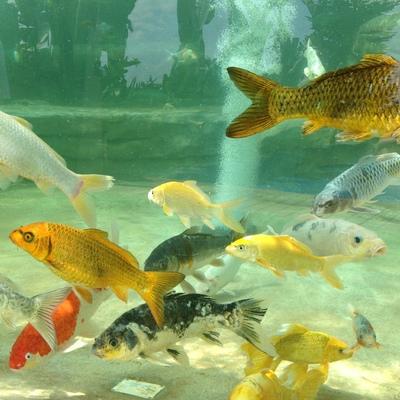 Estanque de peces Kois