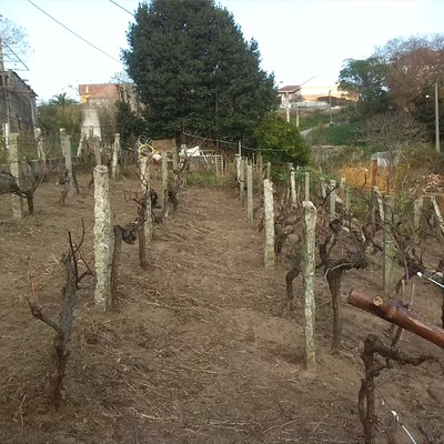 Restauracion de viñedo