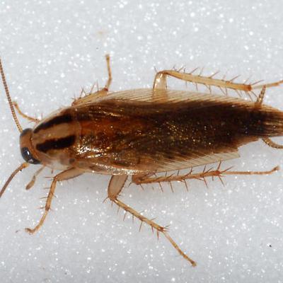 Cucaracha Alemana.