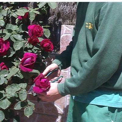 Poda de rosales