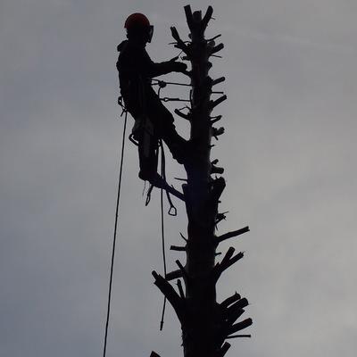 Poda y tala para eliminación del árbol.