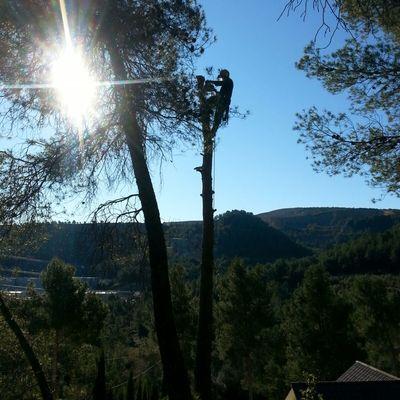 Tala de pinos