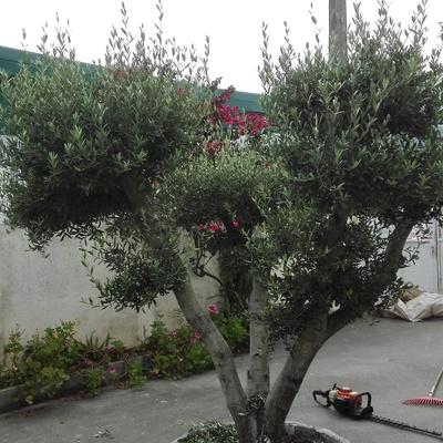 Antes de poda del olivo