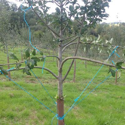 Arqueo de frutales para incentivar producción.