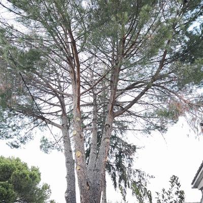 Talas de pino piñonero