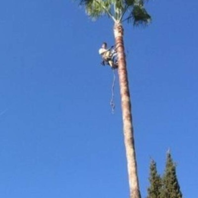 Subida a palmera  Washingtonia con su respectiva poda