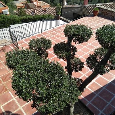 Olivera bonsai