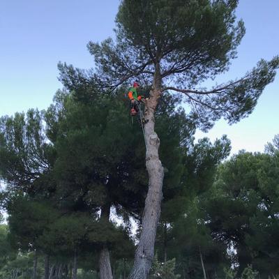 Poda en altura de pinos