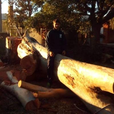 Tala de arbol eucalipto de gran tamaño y altura
