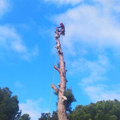 Tala de un pino