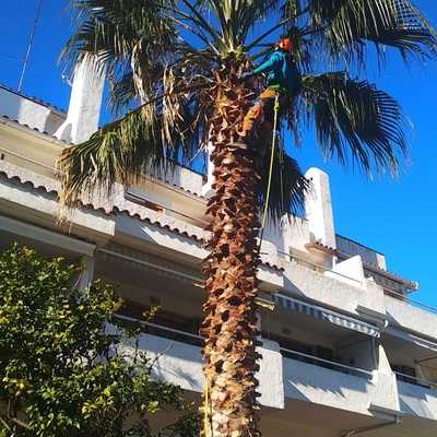 Tala de una palmera