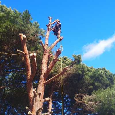 Tala controlada de Pinus sp.