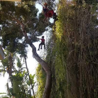 Francis limpiando pino halepensis