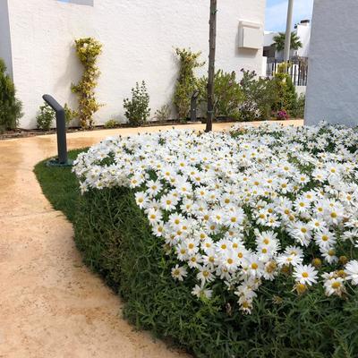 margaritas en floracion