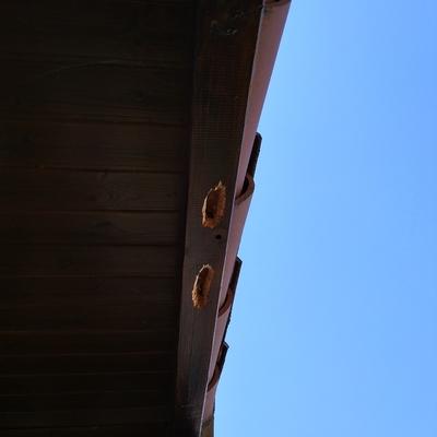 Abejas carpinteras