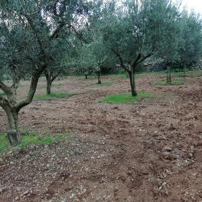 Poda de olivos.