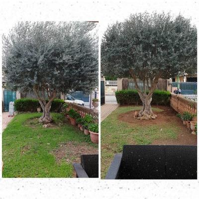 Podando olivo