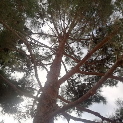 Aclarado de pino