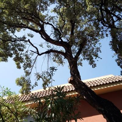 Alcornoque (Quercus suber)