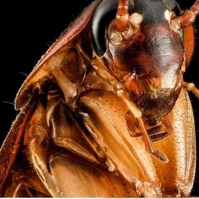 Fotografía de cucaracha americana