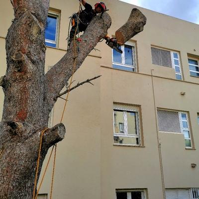 Poda de pino