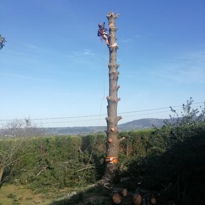 Tala de pino 4