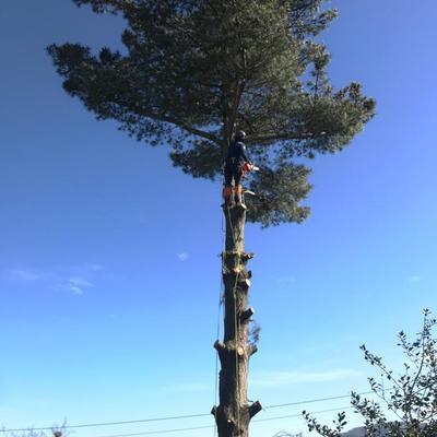 Tala de pino en Gijón 2