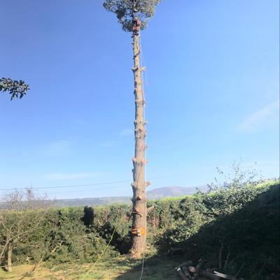 Tala de pino en Gijón 3