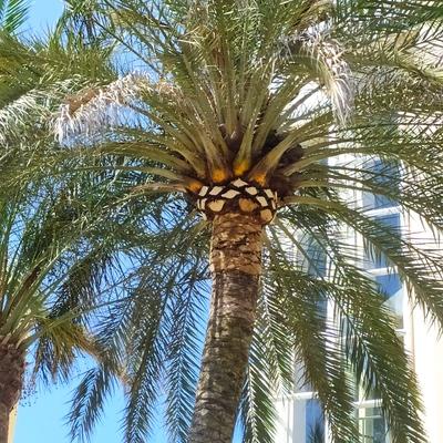 Poda y formación de balona en palmera Phoenix dactylifera