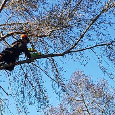 Poda en altura de fresno (Fraxinus angustifolia)