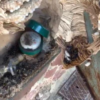 Detección nido avispa asiática