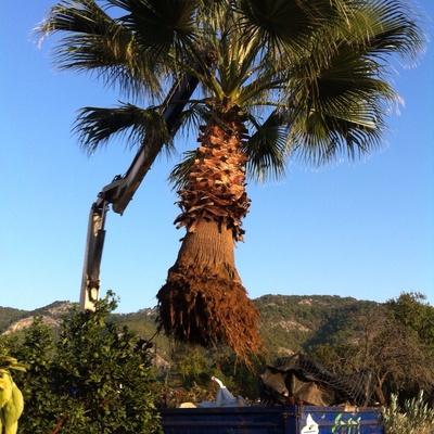 Nueva palmera