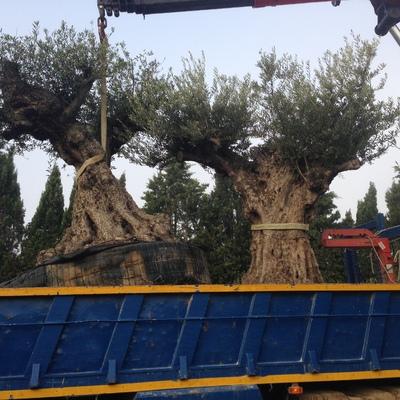 Nuevos olivos centenarios
