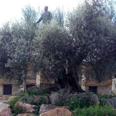 Poda de olivas centenarias
