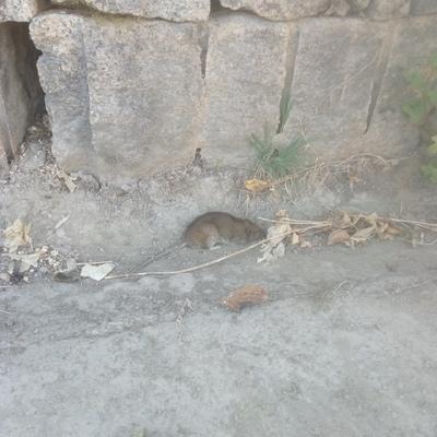 Rattus rattus,  en polígono