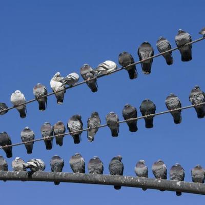 Aves.