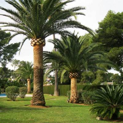 Poda de palmeras y pinos