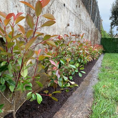 Plantación de Photinias.
